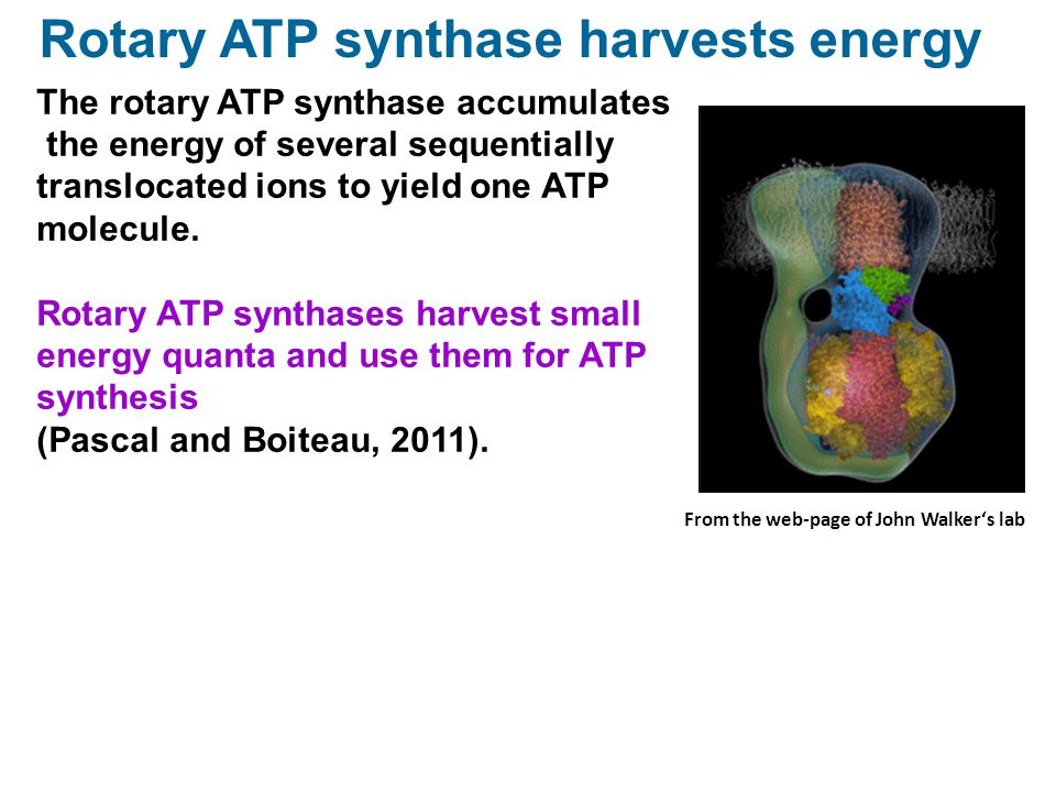 The rotary ATP synthase accumulates the energy of several sequentially translocated ions to yield one ATP molecule. Rotary ATP synthases harvest small
