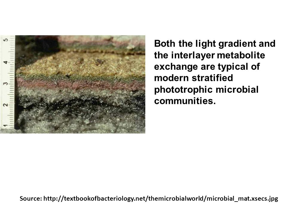 Both the light gradient and the interlayer metabolite exchange are typical of modern stratified phototrophic microbial communities. Source: http://tex