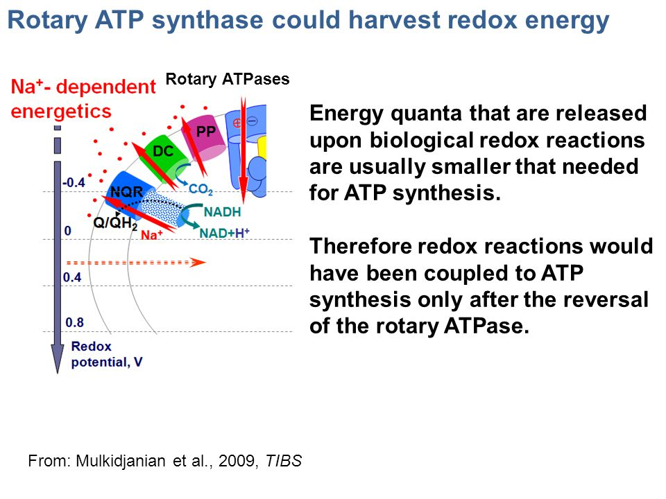 Rotary ATP synthase could harvest redox energy Rotary ATPases From: Mulkidjanian et al., 2009, TIBS Energy quanta that are released upon biological re