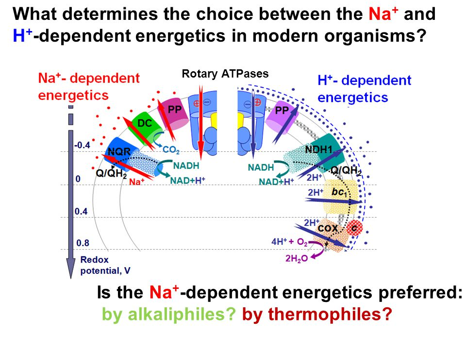 Is the Na + -dependent energetics preferred: by alkaliphiles? by thermophiles? Rotary ATPases What determines the choice between the Na + and H + -dep