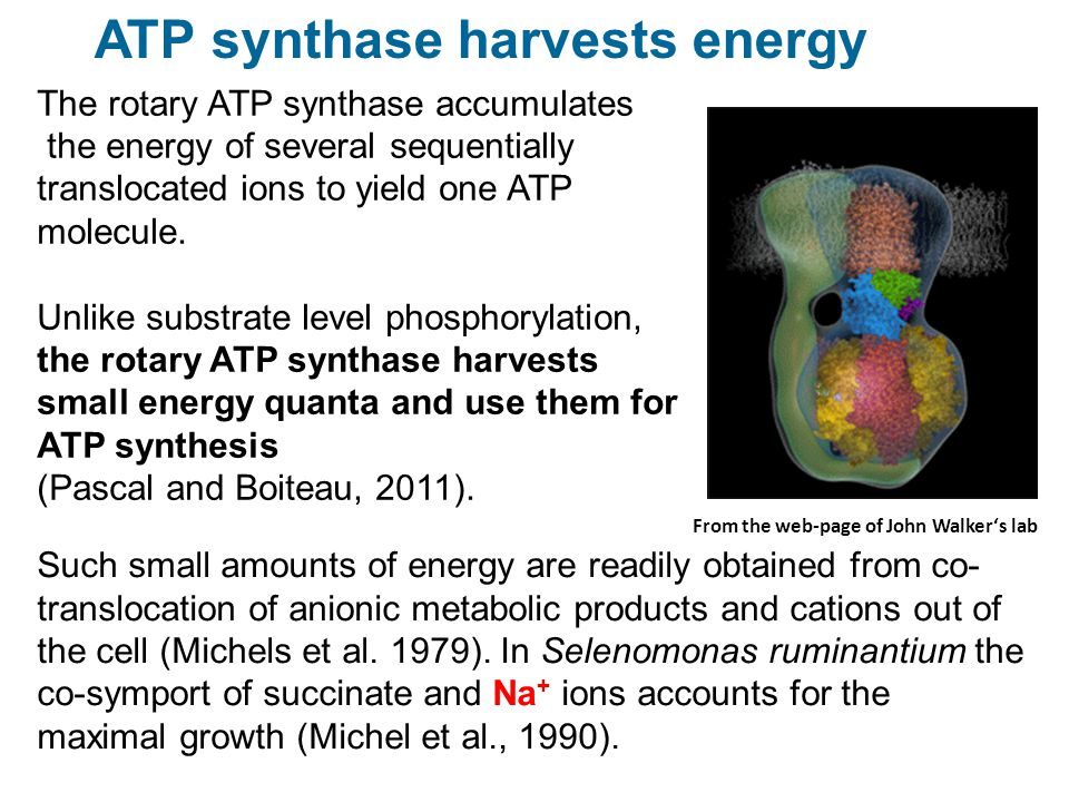 The rotary ATP synthase accumulates the energy of several sequentially translocated ions to yield one ATP molecule. Unlike substrate level phosphoryla