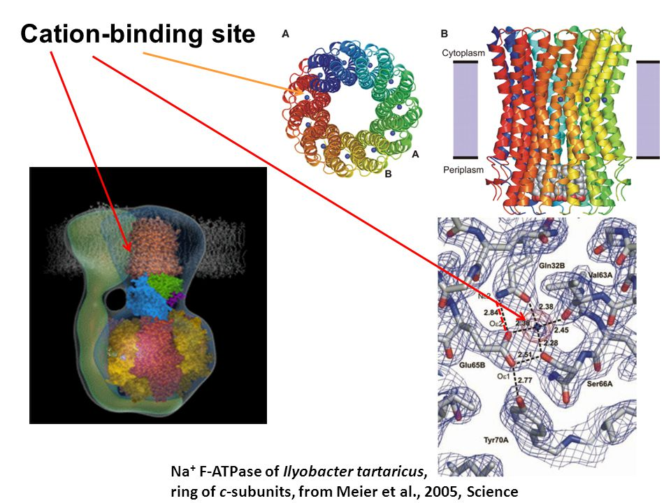 Na + F-ATPase of Ilyobacter tartaricus, ring of c-subunits, from Meier et al., 2005, Science Cation-binding site