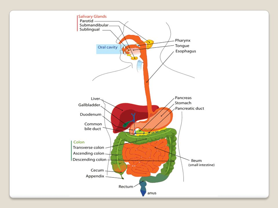 Movements of small intestine: Peristalsis: It the wave of contraction proceeded by relaxation.