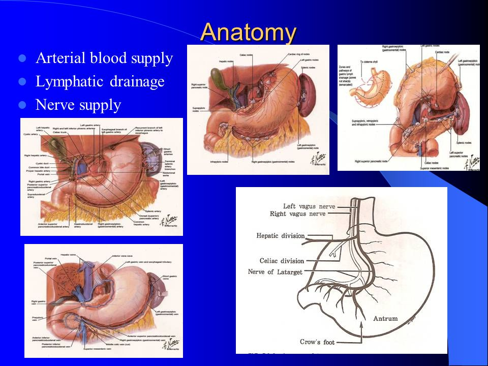 Anatomy Arterial blood supply Lymphatic drainage Nerve supply