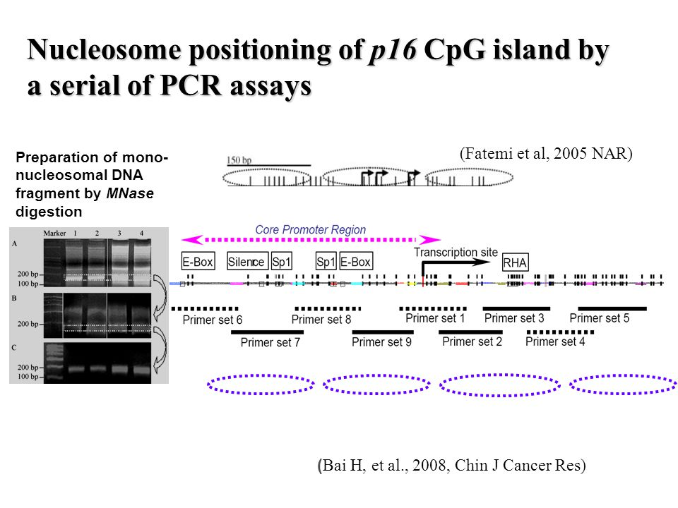 Nucleosome positioning of p16 CpG island by a serial of PCR assays Preparation of mono- nucleosomal DNA fragment by MNase digestion ( Bai H, et al., 2008, Chin J Cancer Res) (Fatemi et al, 2005 NAR)