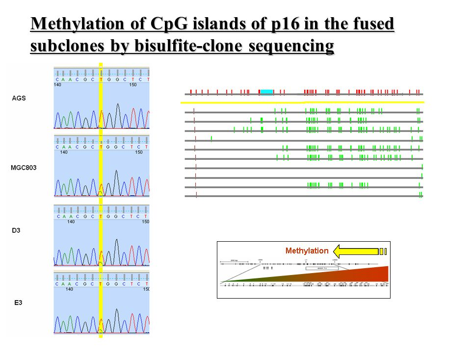 Methylation of CpG islands of p16 in the fused subclones by bisulfite-clone sequencing