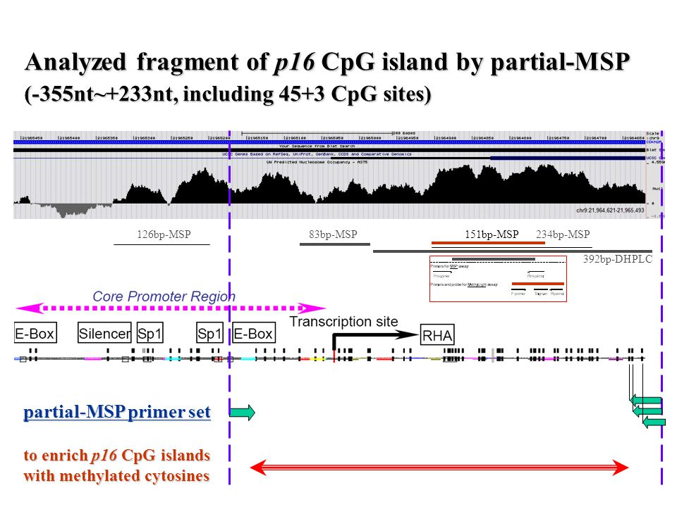 Analyzed fragment of p16 CpG island by partial-MSP (-355nt~+233nt, including 45+3 CpG sites) partial-MSP primer set to enrich p16 CpG islands with methylated cytosines 126bp-MSP 151bp-MSP 234bp-MSP83bp-MSP 392bp-DHPLC