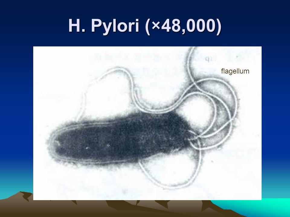 H. Pylori (×48,000) flagellum