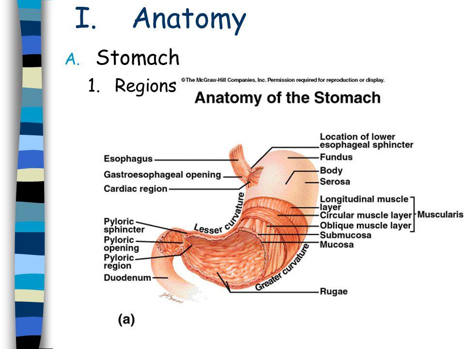 I.Anatomy – cont. A. Stomach – cont. 5.Layers of walls 1.Serosa 2.Muscularis 3.Submucosa 4.Mucosa