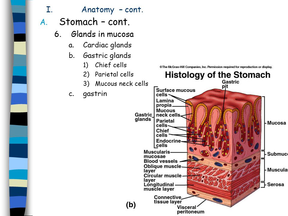 I.Gastric pit parietal cells (oxyntic) H + secretion & intrinsic factor Peptic cells (chief, zymogen) Pepsinogen secn mucus neck & surface cells Mucus & HCO 3
