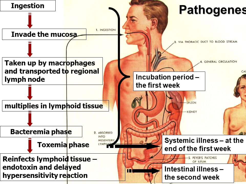Pathogenesis Invade the mucosa Taken up by macrophages and transported to regional lymph node Ingestion multiplies in lymphoid tissue Bacteremia phase Reinfects lymphoid tissue – endotoxin and delayed hypersensitivity reaction Toxemia phase Incubation period – the first week Intestinal illness – the second week Systemic illness – at the end of the first week