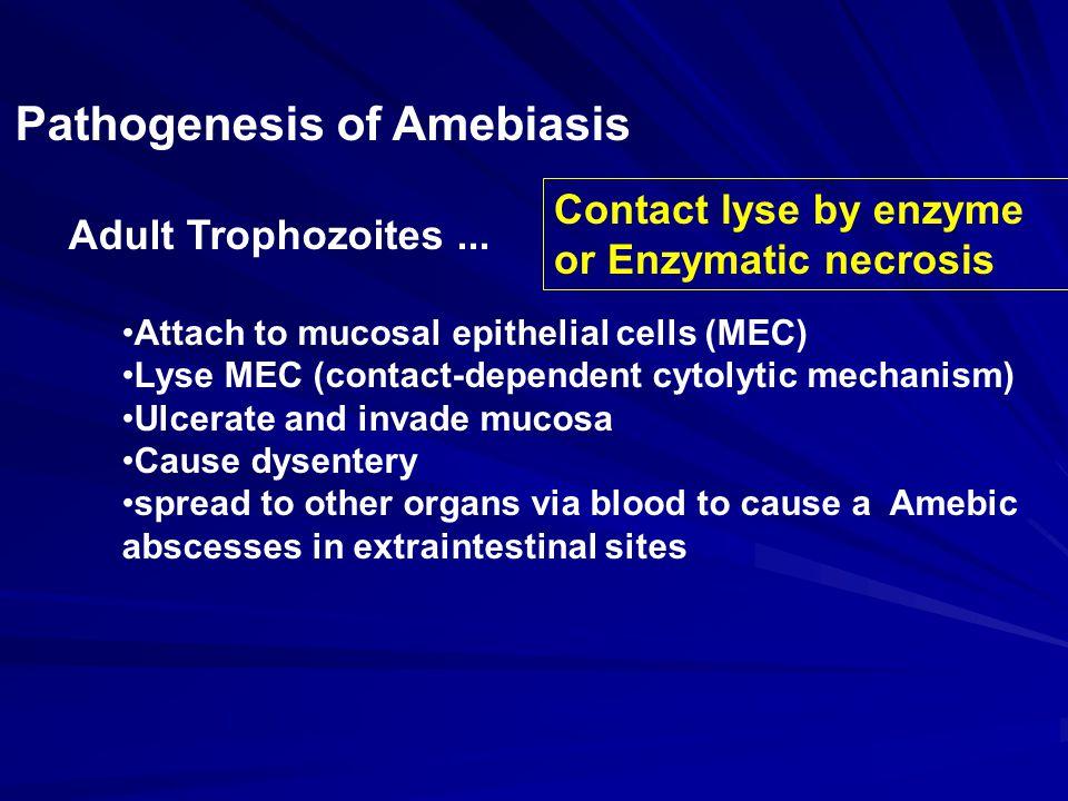 Pathogenesis of Amebiasis Adult Trophozoites...