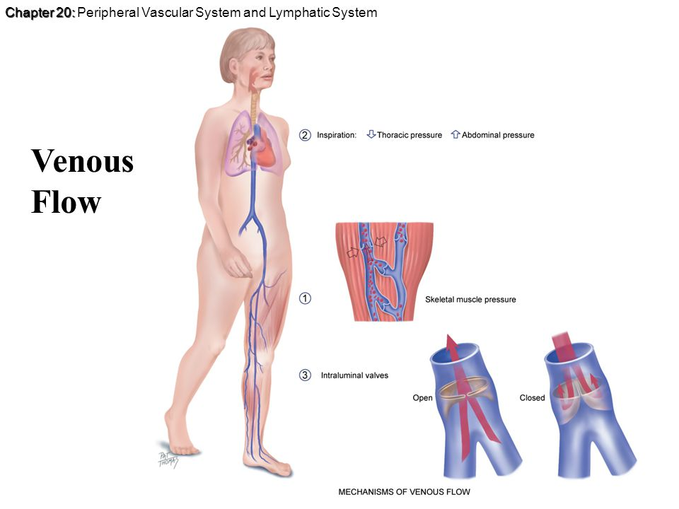 Chapter 20: Chapter 20: Peripheral Vascular System and Lymphatic System Venous Flow