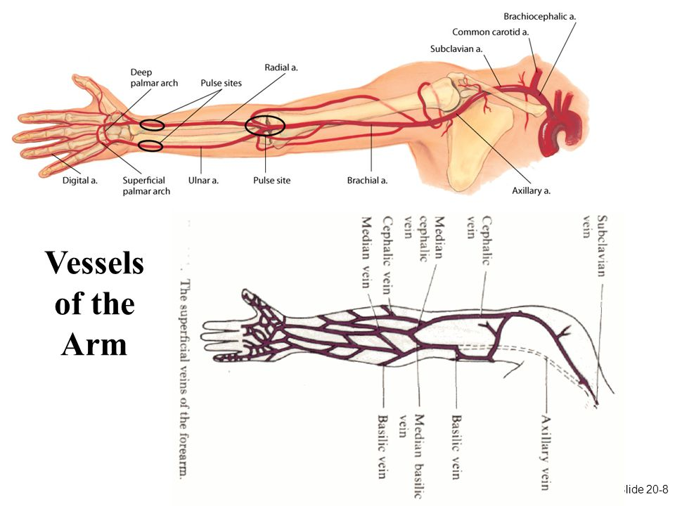 Chapter 20: Chapter 20: Peripheral Vascular System and Lymphatic System Slide 20-8 Arteries in the Arm Vessels of the Arm