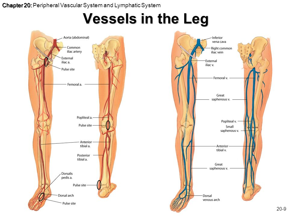 Chapter 20: Chapter 20: Peripheral Vascular System and Lymphatic System Slide 20-9 Vessels in the Leg