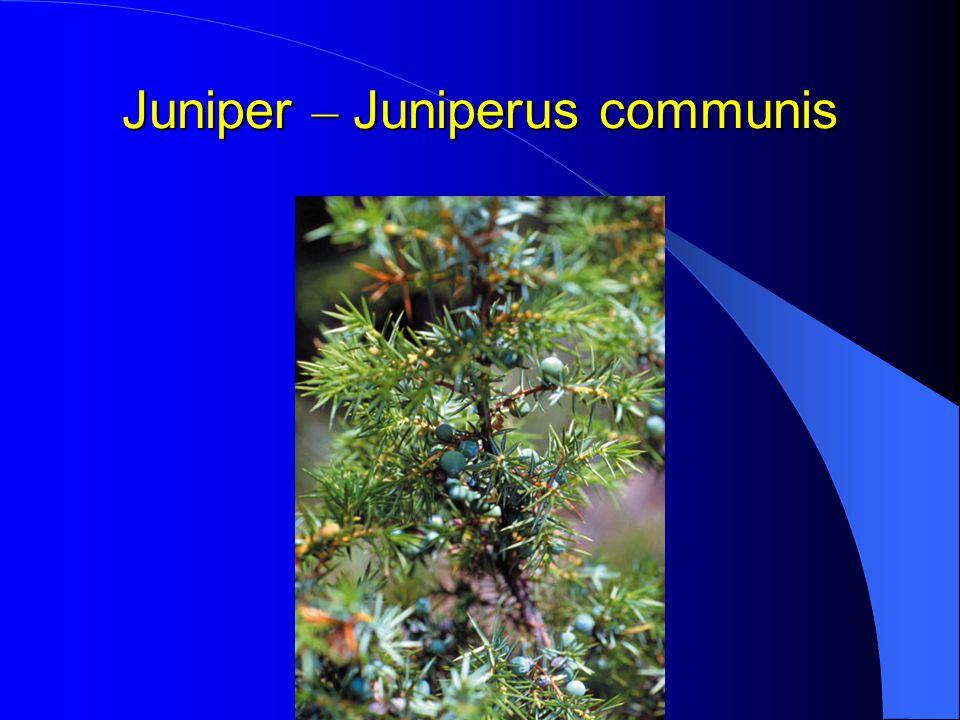 Juniper – Juniperus communis
