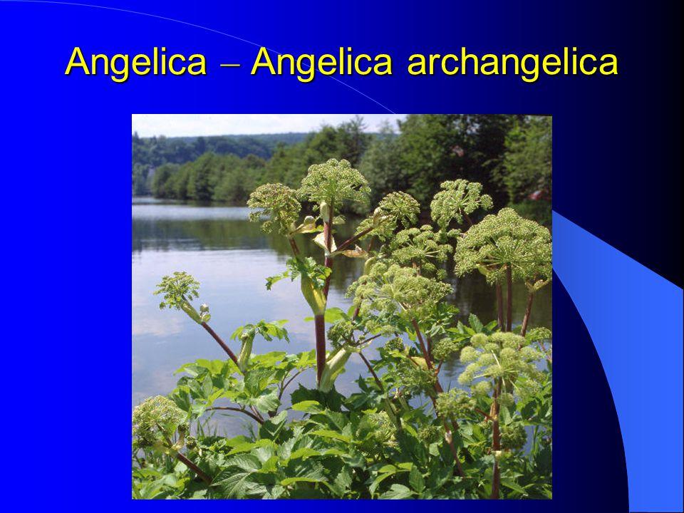 Angelica – Angelica archangelica