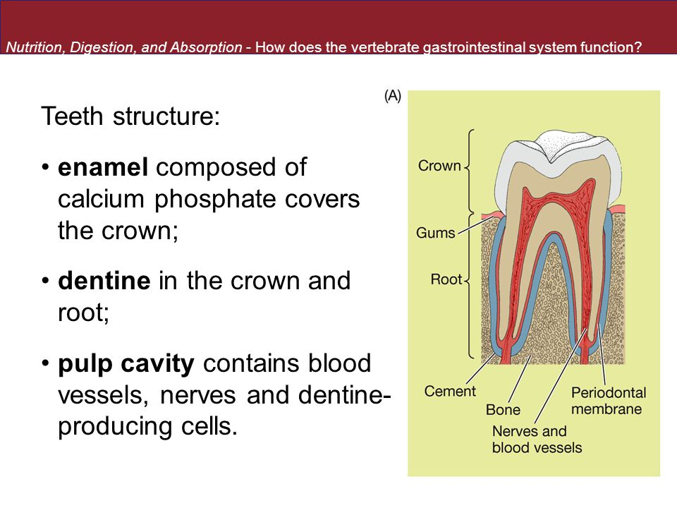 Teeth structure: enamel composed of calcium phosphate covers the crown; dentine in the crown and root; pulp cavity contains blood vessels, nerves and