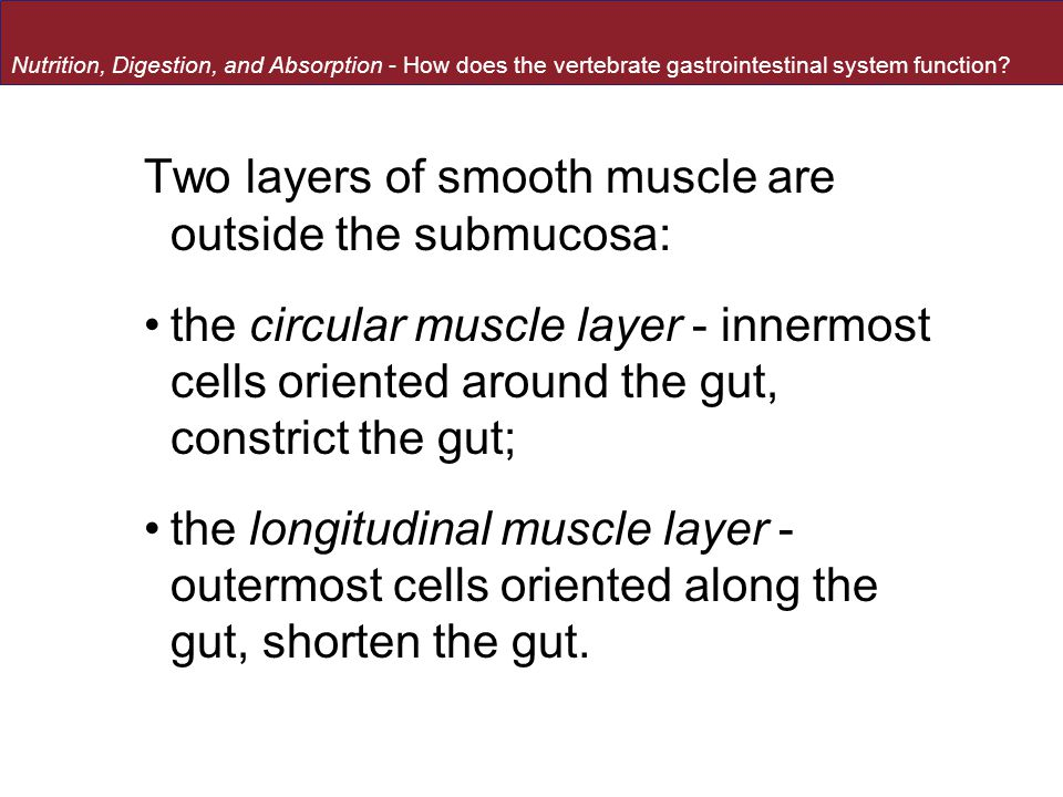 Two layers of smooth muscle are outside the submucosa: the circular muscle layer - innermost cells oriented around the gut, constrict the gut; the lon