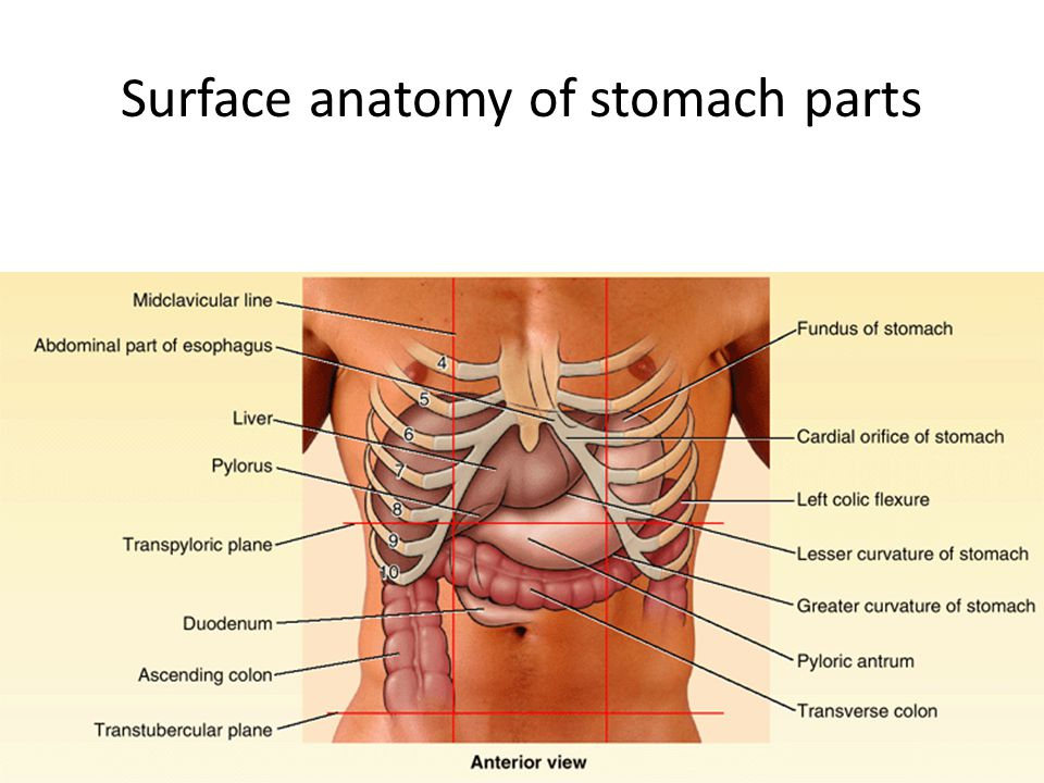 Surface anatomy of stomach parts