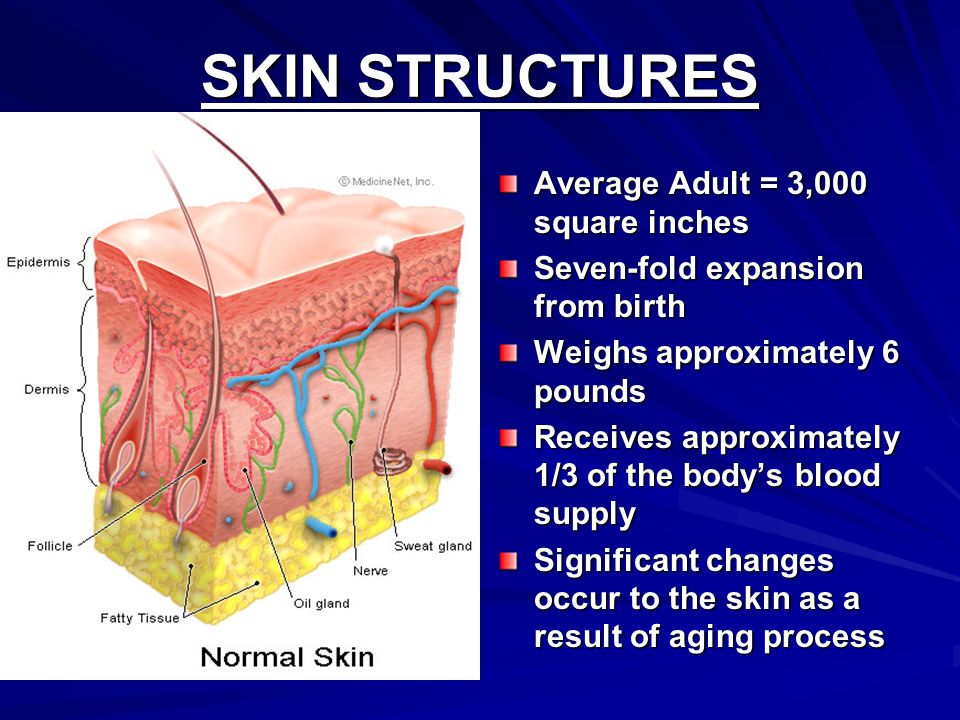 SKIN STRUCTURES Average Adult = 3,000 square inches Seven-fold expansion from birth Weighs approximately 6 pounds Receives approximately 1/3 of the body's blood supply Significant changes occur to the skin as a result of aging process