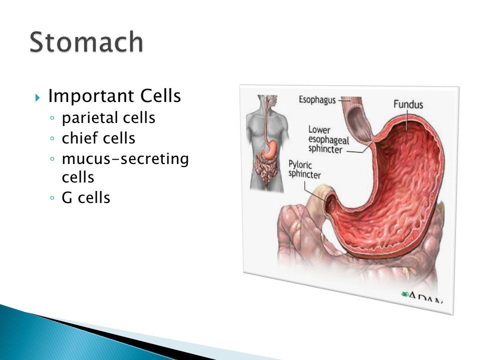  Important Cells ◦ parietal cells ◦ chief cells ◦ mucus-secreting cells ◦ G cells