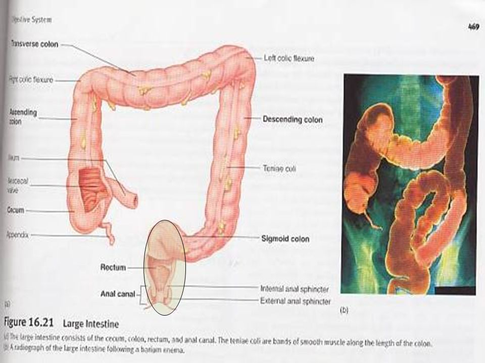 Function of Large Intestine Absorption of water,salt Microorganism synthesize vit K Stores faeces