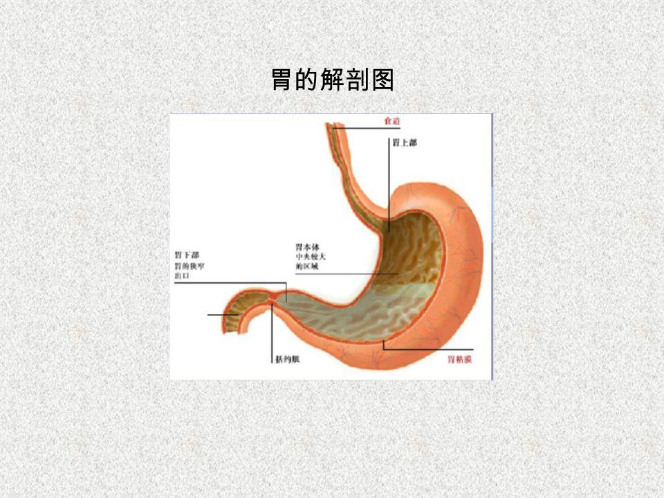 胃的解剖图