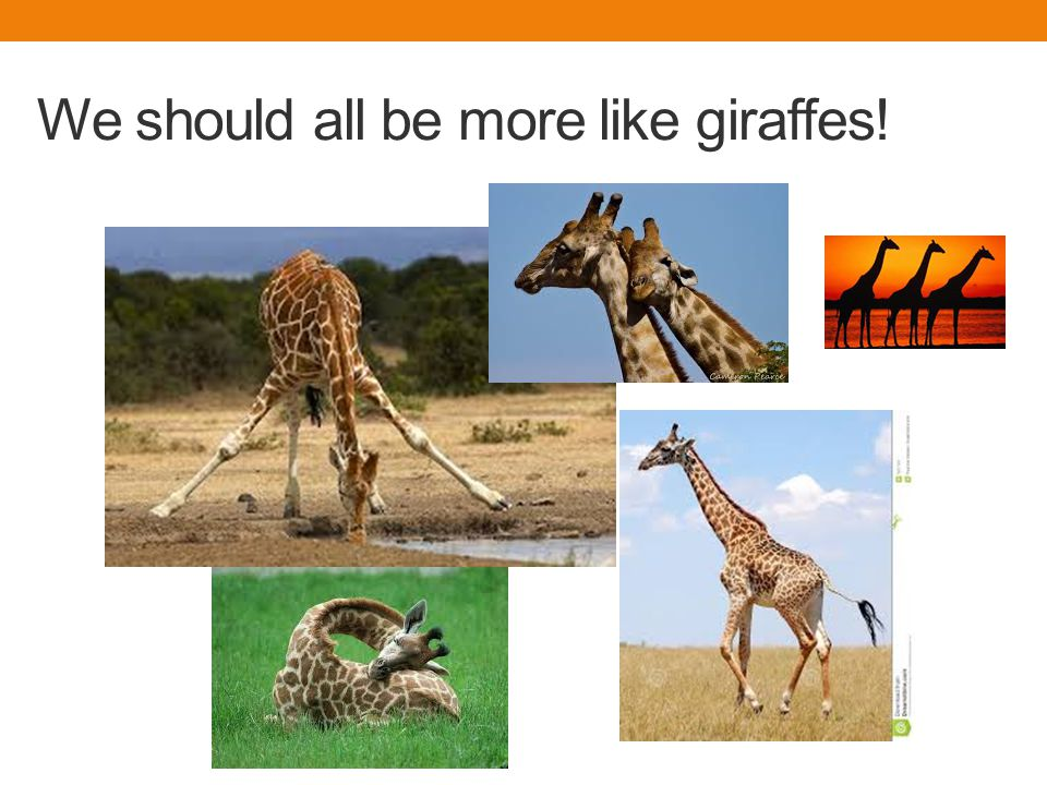 We should all be more like giraffes!