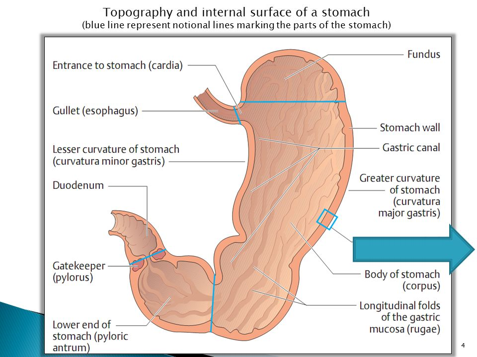 Topography and internal surface of a stomach (blue line represent notional lines marking the parts of the stomach) 4