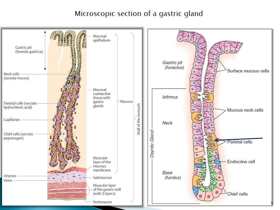 Microscopic section of a gastric gland 5