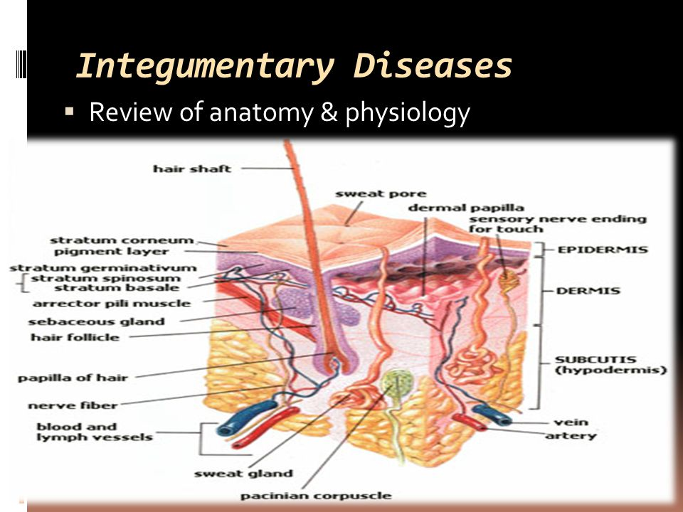 Integumentary Diseases  Review of anatomy & physiology