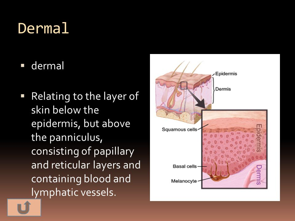 Dermal  dermal  Relating to the layer of skin below the epidermis, but above the panniculus, consisting of papillary and reticular layers and contai