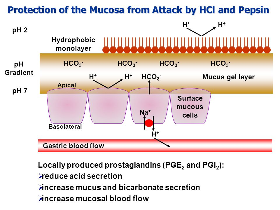 Locally produced prostaglandins (PGE 2 and PGI 2 ):  reduce acid secretion  increase mucus and bicarbonate secretion  increase mucosal blood flow pH Gradient Protection of the Mucosa from Attack by HCl and Pepsin H+H+ Na + HCO 3 - Basolateral Surface mucous cells Mucus gel layer HCO 3 - Apical H+H+ H+H+ Hydrophobic monolayer H+H+ H+H+ pH 7 pH 2 Gastric blood flow
