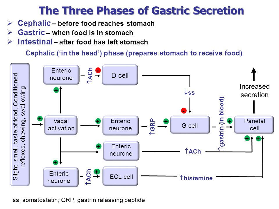 The Three Phases of Gastric Secretion  Cephalic – before food reaches stomach  Gastric – when food is in stomach  Intestinal – after food has left