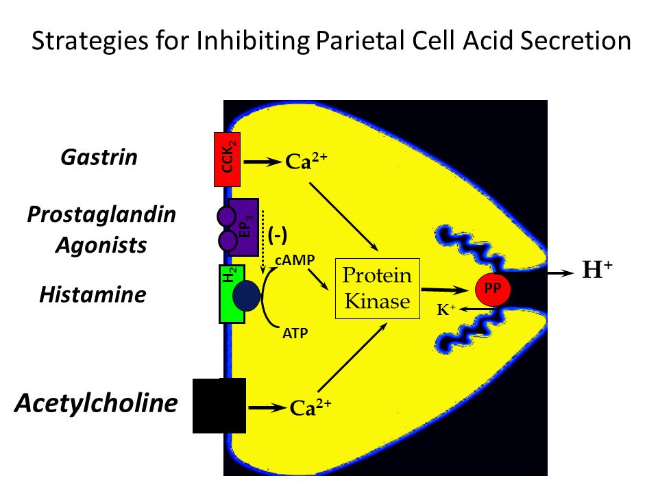 Strategies for Inhibiting Parietal Cell Acid Secretion Gastrin Histamine Acetylcholine Ca 2+ Protein Kinase ATP cAMP Prostaglandin Agonists (-) K+K+ H+H+ PP H2H2 M3M3 CCK 2 EP 3 Ca 2+