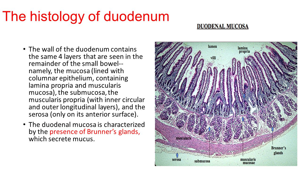 The histology of duodenum The wall of the duodenum contains the same 4 layers that are seen in the remainder of the small bowel-- namely, the mucosa (lined with columnar epithelium, containing lamina propria and muscularis mucosa), the submucosa, the muscularis propria (with inner circular and outer longitudinal layers), and the serosa (only on its anterior surface).