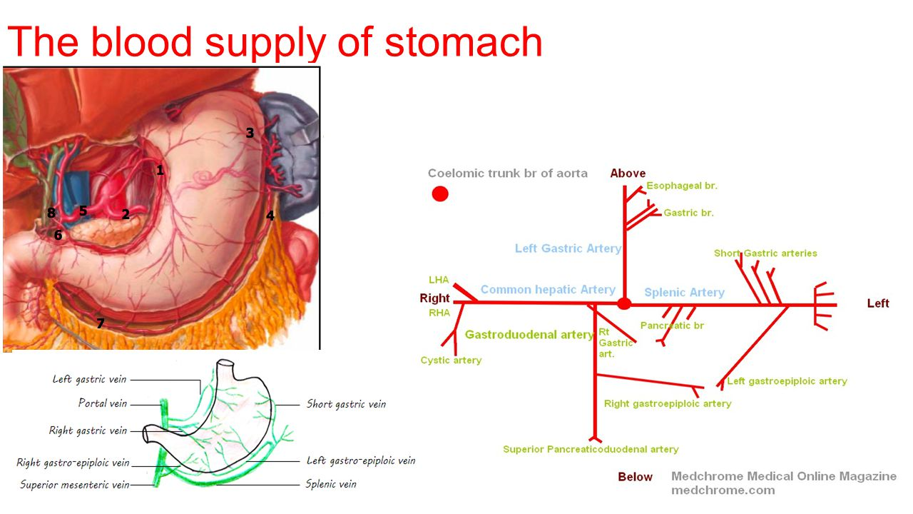 The blood supply of stomach