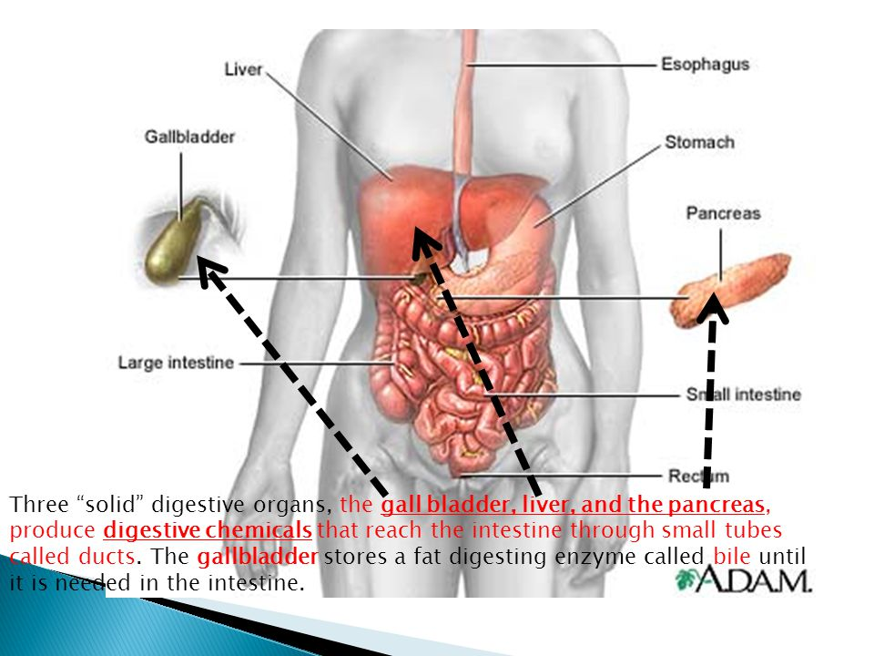 Three solid digestive organs, the gall bladder, liver, and the pancreas, produce digestive chemicals that reach the intestine through small tubes called ducts.