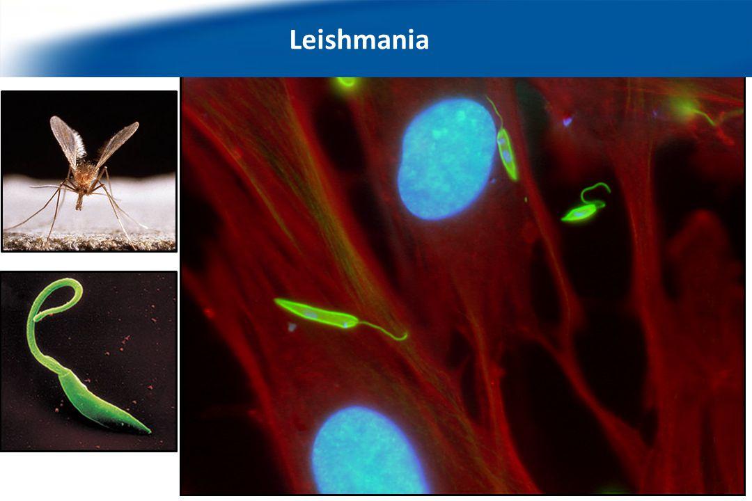 We work with the protozoan parasite Leishmania… Leishmania