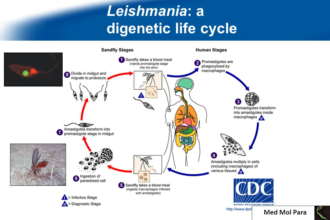 Leishmania: a digenetic life cycle 9 Med Mol Para