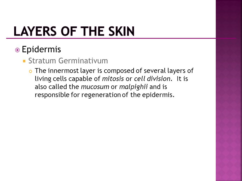  Epidermis  Stratum Germinativum The innermost layer is composed of several layers of living cells capable of mitosis or cell division. It is also c