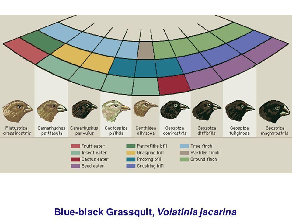 Blue-black Grassquit, Volatinia jacarina