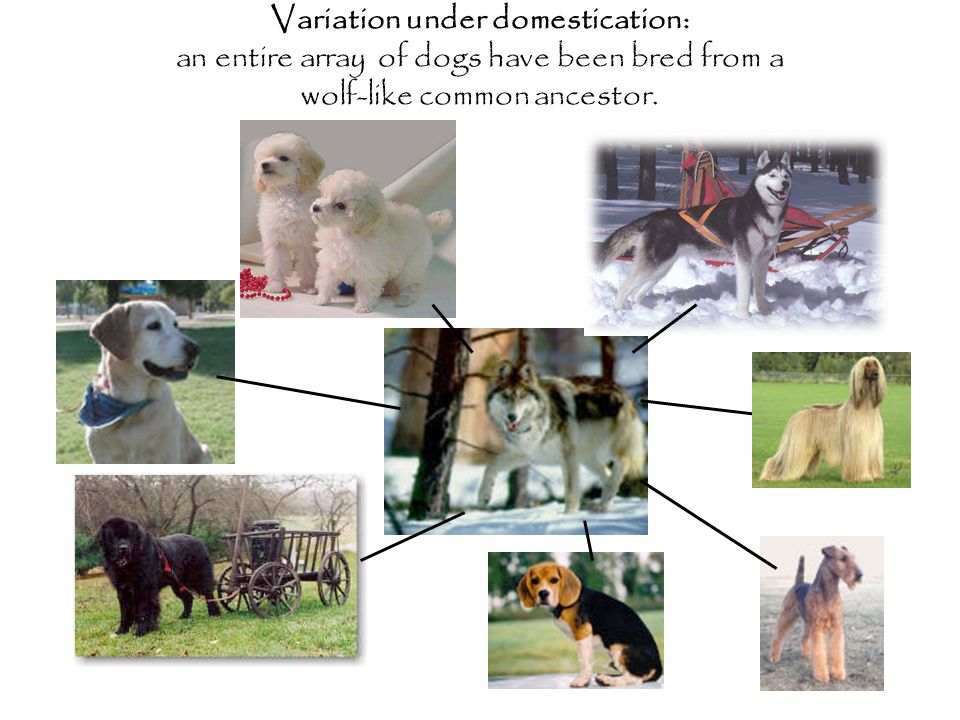 Variation under domestication: an entire array of dogs have been bred from a wolf-like common ancestor.