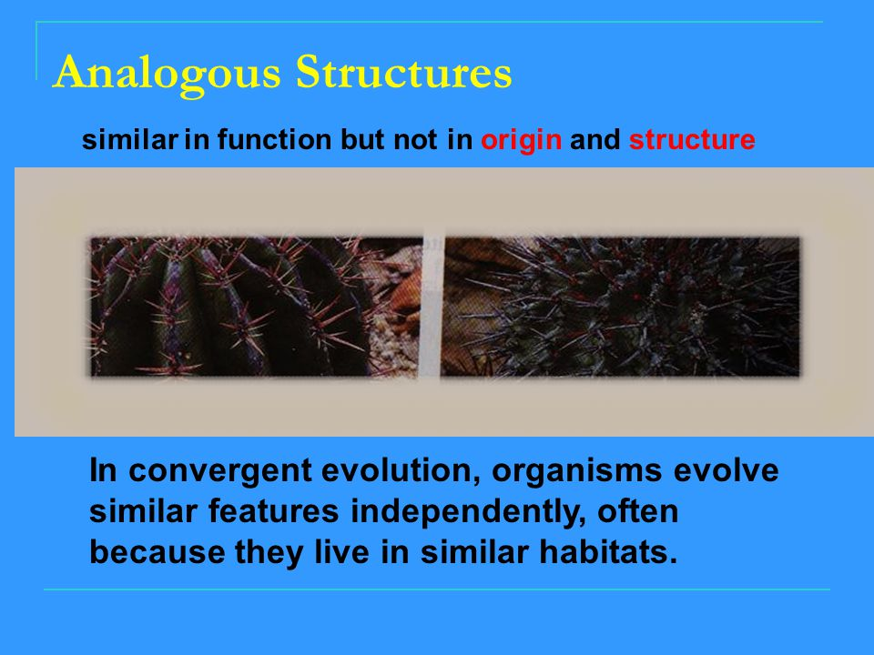 Analogous Structures In convergent evolution, organisms evolve similar features independently, often because they live in similar habitats.