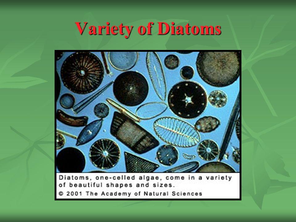 Variety of Diatoms