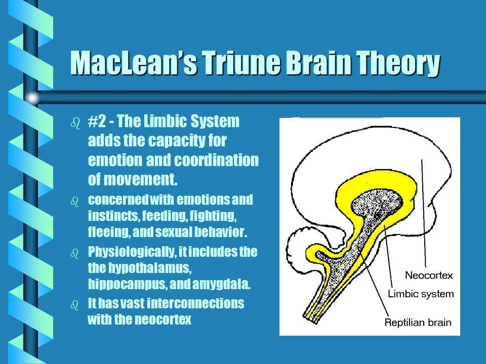 """MacLean's Triune Brain Theory """" MacLean's Triune Brain Theory """"three interconnected biological computers"""" MacLean (as cited on Web Page) b #1 - The Re"""