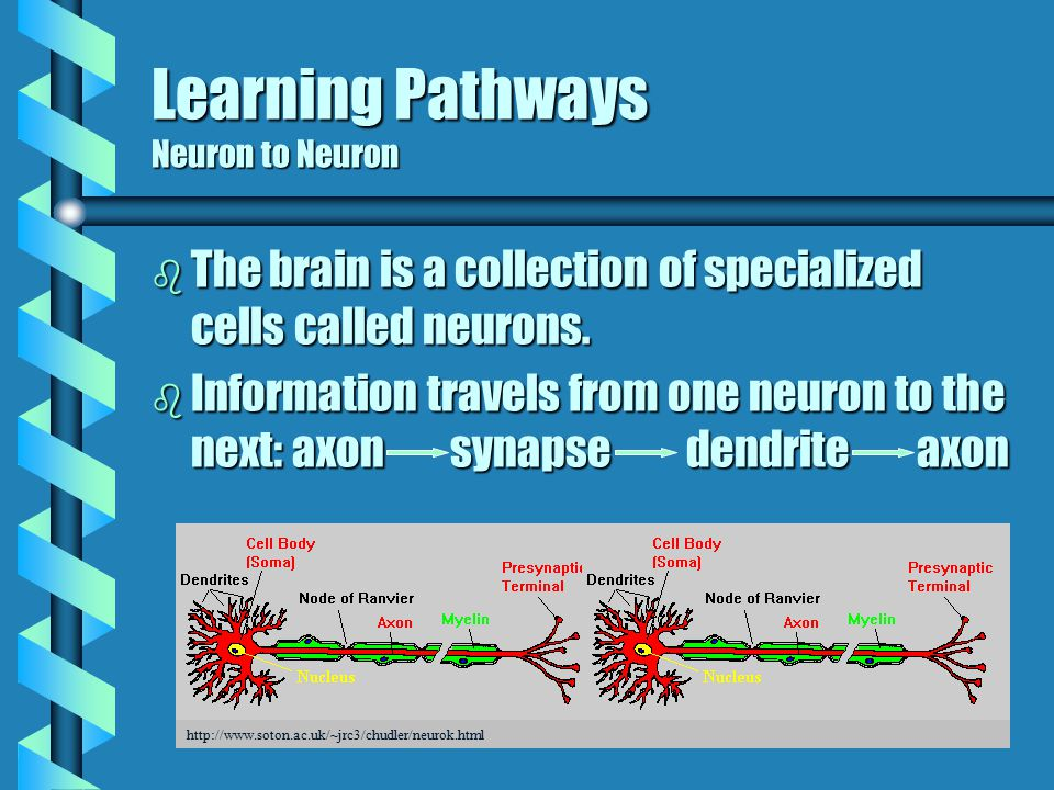 Neocortex #3 (Cerebrum) thin covering of cortex but 70% of brain cells higher level functions Temporal (hears & smells) Occipital (sees) Parietal (feels) Frontal (solves, decides, moves) Wernicke's Area Interprets what is seen or heard Broca's Area Speech- breathing and vocalization