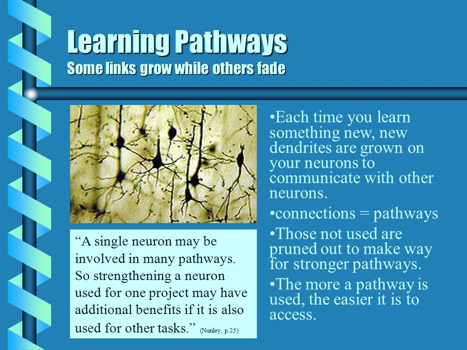 Learning Pathways Neuron to Neuron b The brain is a collection of specialized cells called neurons. b Information travels from one neuron to the next: