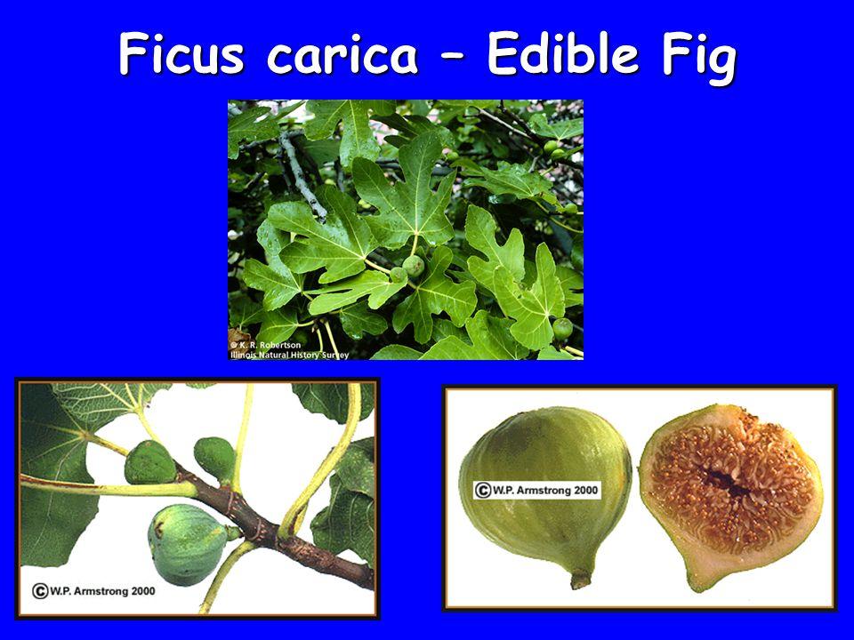 Ficus carica – Edible Fig